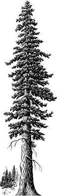 Giant_Redwood_02